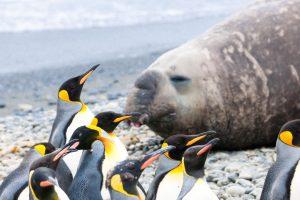 Pinguine vor See-Elefant