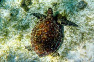 Karibik Tobago Kays Schildkröte