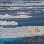 Eisbär-Trio auf treibender Scholle