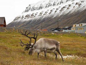 Spitzbergen Rentier