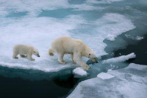 Spitzbergen Eisbärmutter mit Kind