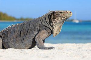 Kuba Leguan am Strand
