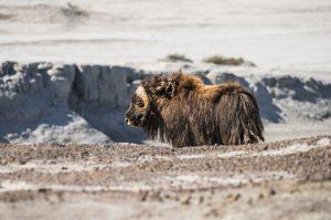 Grönland - Moschusochse