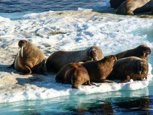 Spitzbergen Walrosse